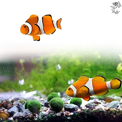 Live Saltwater - Luffy 5 Nano Moss Balls : Saltwater Fish Tank Friendly, Ideal Clownfish, Ocellaris, Damsel Fish, Dottybacks, Rays: Easy to Maintain, Provides Oxygen Absorbs Nitrates
