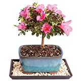 Brussel's Satsuki Azalea Bonsai - Small (Outdoor) with Humidity Tray & Deco Rock