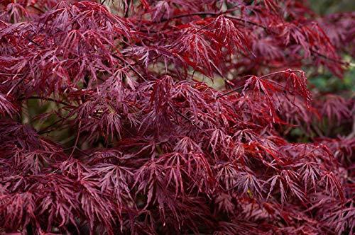Portal Cool Acer Palmatum Dissectum Atropurpureum (Cut Leaf Japanese Maple) - 10 Seeds