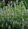David's Garden Seeds Herb Catmint D2921 (Purple) 1000 Open Pollinated Seeds