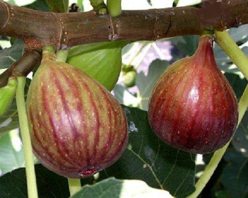 Brown Turkey Fig Tree, Sweet Purple Fruit Twice A Year.