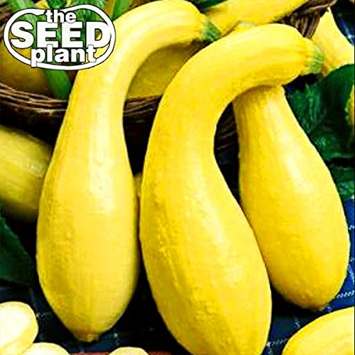 Crookneck Yellow Squash Seeds - 25 NON-GMO SEEDS