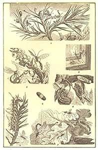 Orugas: pino-Árbol de la polilla cocoon su Panorama-larvas syrphus - Willow -, 1907
