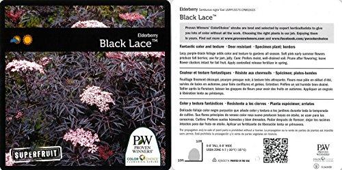 Black Lace Elderberry (Sambucus) Live Shrub, Pink Flowers, 4.5 in. Quart by Proven Winners (Image #2)