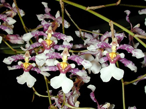 Oncidium incurvum - Orchid Plant - Fragrant - Easy-Grower - Indigenous to Mexico - Oncidium Care Orchid