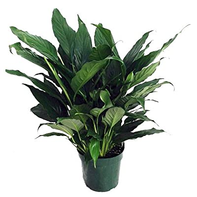 "Hirt's Peace Lily Plant - Spathyphyllium - Great House Plant - 8"" Pot: Toys & Games"
