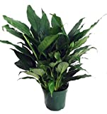 "Hirt's Peace Lily Plant - Spathyphyllium - Great House Plant - 6"" Pot"