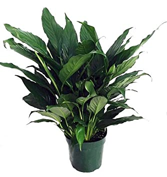 House Plant Peace Lily Problems on peace lily problems white residue, peace lily plant brown leaves, jade house plant problems, begonia house plant problems, peace lily indoor plant, gardenia house plant problems, peace lily plant care of,
