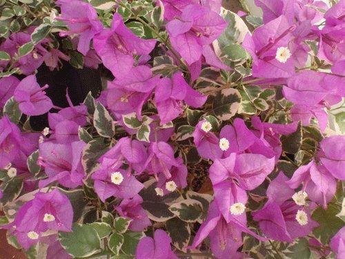 Bougainvillea Hanging - Two Live 4 Inch Bougainvillea 'Blueberry Ice' Purple-Pink Flowers. 4 Plants, 2 per Pot
