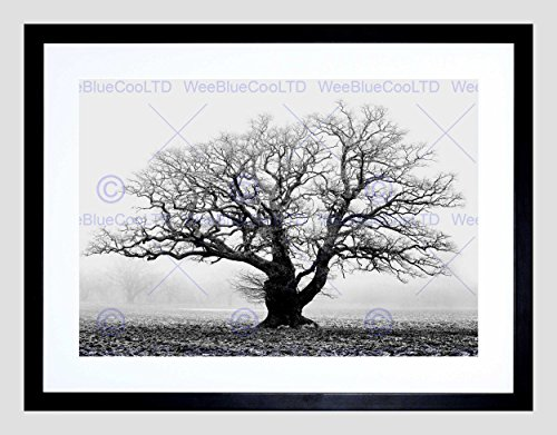 Wee Blue Coo Old Oak Tree Black White Mist Fog Black Frame Framed Art Print Picture B12X9685