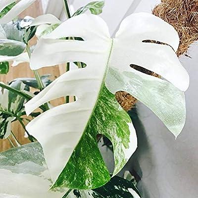 Phoenix b2c 100Pcs White Monstera Palm Turtle Leaves Plant Seeds Park Balcony Bonsai Decor - 100pcs Monstera Seeds : Garden & Outdoor