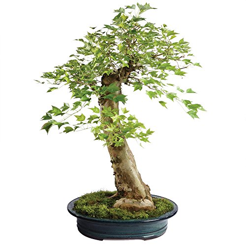 - Brussel's Live Trident Maple Specimen Outdoor Bonsai Tree - 45 Years Old; 27