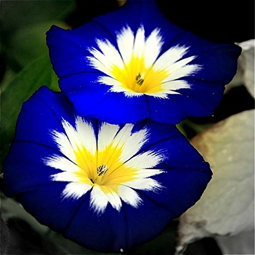 50pcs/bag Blue Morning Glory seeds rare petunia seeds,bonsai flower seeds,plant for home garden Easy to Grow Flores (Aquarium Plant Seeds For Sale In India)