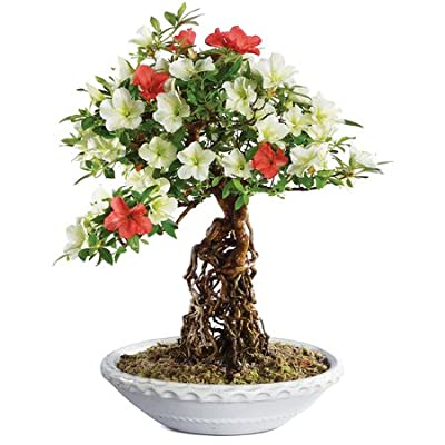 "Brussel's Live Azalea Specimen Outdoor Bonsai Tree - 25 Years Old; 13"" Tall with Decorative Container: Garden & Outdoor"