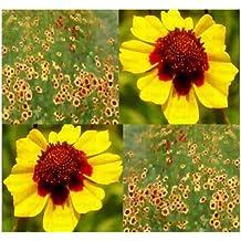 7,000 PLAINS COREOPSIS ~MAHOGANY COLOR~ BULK Flower Seeds ~LONG FLOWERING SEASON