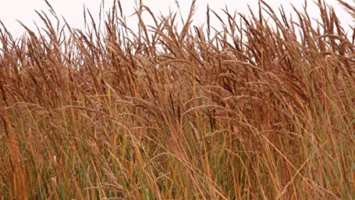 (INDIAN GRASS SEED - ORNAMENTAL SEED FALL COLOR Beautiful Bronze Colored !!! (200 -)
