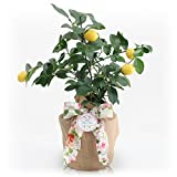 Mother's Day Meyer Lemon Gift Tree by The Magnolia Company - Get Fruit 1st Year, Dwarf Fruit Tree with Juicy Sweet Lemons,Potted Lemon Citrus Tree for Indoors or Outdoors