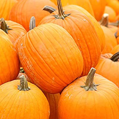 Pumpkin Garden Seeds - Autumn Gold Hybrid Pumpkins - AAS Winner - Non-GMO Golden Orange Pumpkin Variety - Vegetable Gardening Seed