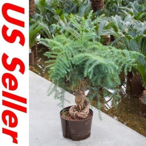 33 PCS Bonsai Semillas de Araucaria T14, jardinería árboles purificador de aire: Amazon.es: Jardín