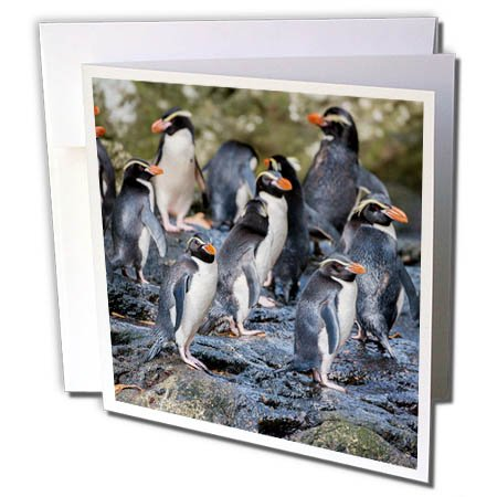 3dRose Danita Delimont - Penguins - New Zealand, Snares Islands, The Snares. Snares crested penguin. - 12 Greeting Cards with envelopes (gc_277141_2)