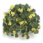 AUF001-21-Inch-Hanging-Rose-Begonia-Bush-Signature-Foliage