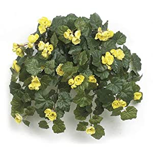 21 Inch Hanging Rose Begonia Bush Signature Foliage 25