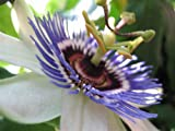 "40 Seeds, Passion Flower ""Royal Blue"" (Passiflora Caerulea) Seeds by Seed Needs"