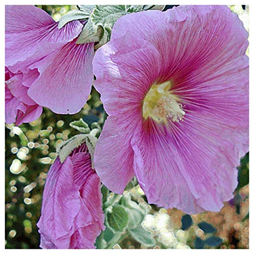 Everwilde Farms - 1/4 Lb Hollyhock Wildflower Seeds - Gold Vault
