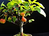 Bonsai fruit seeds 20pcs Mini Apple bonsai tree home garden,Fresh delicious!