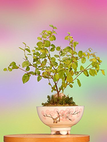 Bonsai Tree Gift with Oriental Indoor Sweet Plum -