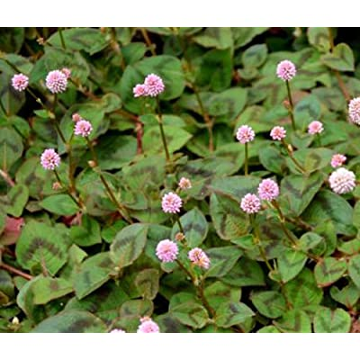 KNOTWEED PINK PUNCHING BALLS Polygonum Capitatum - 500 Bulk Seeds : Garden & Outdoor