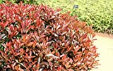 1 Photinia Fraseri (Red Tip Photinia) Shrubs Live Plant