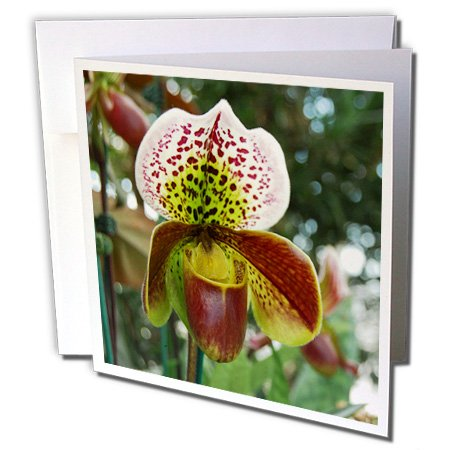 3dRose Beautiful Lady Slipper Orchid Close Up Photograph - Greeting Cards, 6 x 6 inches, set of 6 (gc_113909_1) (Orchid Photograph)