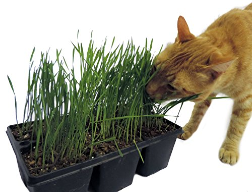 Non-GMO, Thunder Acres Premium Wheat Seed, Cat Grass Seed, Wheatgrass, Hard Red Winter Wheat (2 lbs.) by Thunder Acres (Image #5)