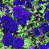 Outsidepride Petunia Multiflora Blue - 250 Seeds