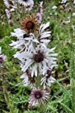 Berkheya purpurea Zulu Warrior 20 seeds