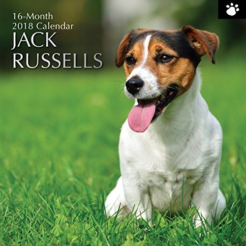 2018 Jack Russells Calendar - 12 x 12 Wall Calendar - With 210 Calendar Stickers