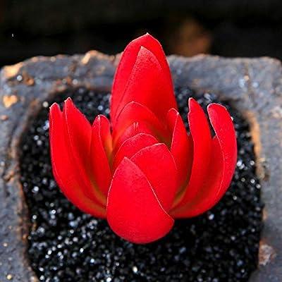 Succulent Live Plants - Crassula capitella 'Campfire' 5cm - Lovely Rare Plants : Garden & Outdoor