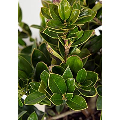 3 Gallon - Carissa Holly(Ilex cornuta) - Compact Evergreen Shrub - Glossy Evergreen Foliage With A Single Sharp Spine At The Tip Of The Leaves : Garden & Outdoor