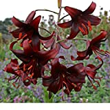Pretty Flowering Hybrid Tiger Lily Night Flyer Blooming Size Bulb Plant Now Ready to Ship Now