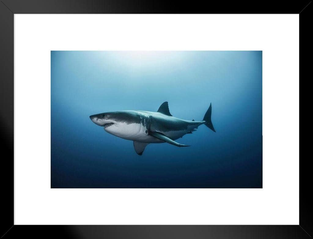 Poster Foundry Great White Shark Swimming in Pacific Ocean Photo Matted Framed Art Print Wall Decor 26x20 inch