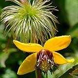 Clematis Tangutica seeds Flower Seeds from Ukraine