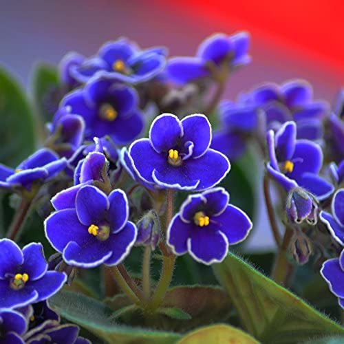 Venta caliente raras Semillas Semillas azul violeta de plantas de jardín de flores en maceta Violeta perenne hierba matthiola Incana Semillas 100PCS: Amazon.es: Jardín