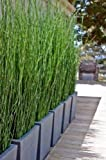 10 Horsetail Reed Grass Looks Like Mini Bamboo