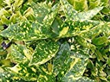Aucuba Japonica Crotonifolia - Spotted Laurel - Plant in 9cm Pot
