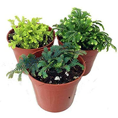 "AchmadAnam - Live Plant Terrariums Fairy 3 Club Moss Gardens Selaginella 2"" Pots Outdoor : Garden & Outdoor"