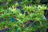 "25 Japanese Maple Tree Seeds Acer ""Mikawa yatsubusa"" Freshly Picked"