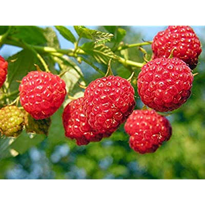 1-12 Heritage Raspberry Potted Plants - Ever Bearing - Dark Red Berries AB023 (12) : Garden & Outdoor