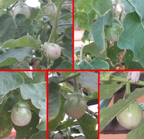 Thai Eggplant (Eggplant Seeds Thai Eggplant Seeds Round Eggplant Chao Phaya Seeds มะเขือเจ้าพระยา 240 Seeds/pack)