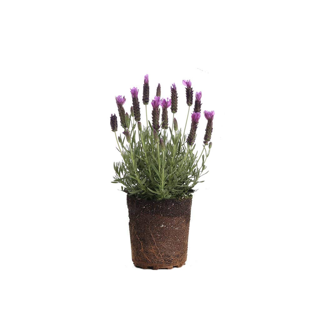 Plants by Post 1 Lavender Spanish, Live Plant, Gallon, Purple - Set of 2, 6'',